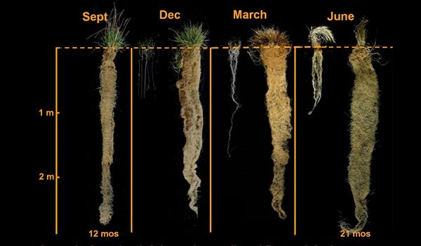 Bild för fråga Ett flerårigt vetegräs med djupa rotsystem som bidrar till att binda mer kol.