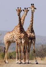 Tio levande giraffer
