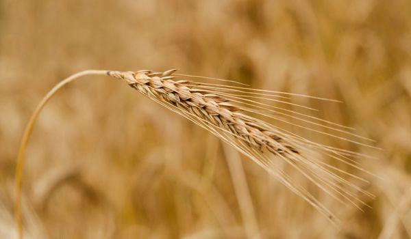 Bild för fråga Kan användas i till exempel knäckebröd och whisky, och har en mycket god förmåga att konkurrera ut ogräs.