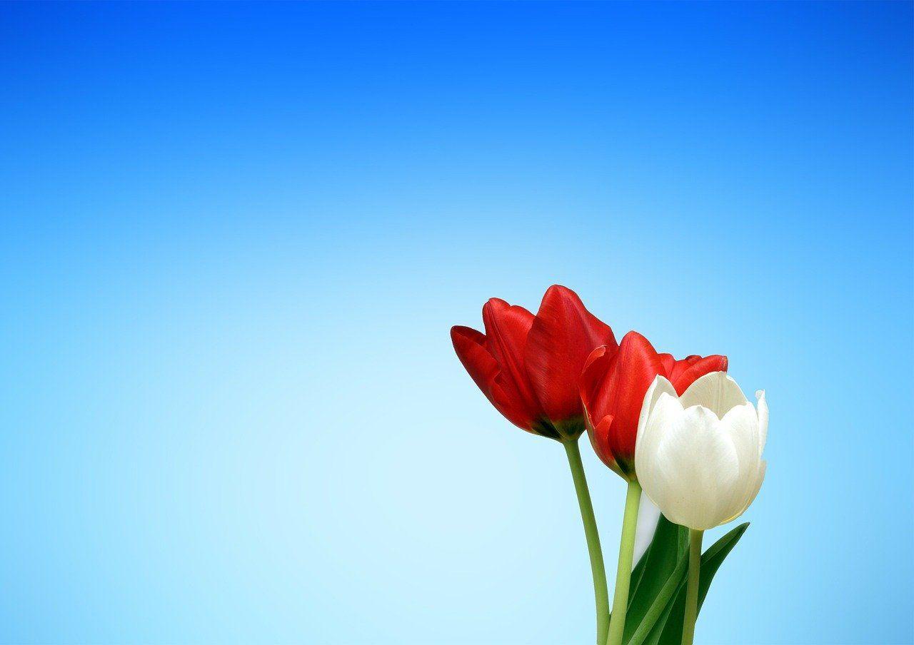 Afbeelding voor vraag Staan er tulpen in je tuin en/of koop je zelf wel eens tulpen voor in huis?