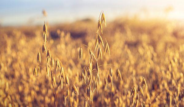 Bild för fråga Vippig gröda som de gamla grekerna såg som oätlig, men idag är den en av våra vanligaste grödor.