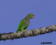 papagaio de peito roxo