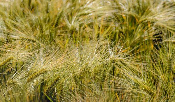 Bild för fråga En av de första odlade grödorna som domesticerades redan 7000 f.Kr.