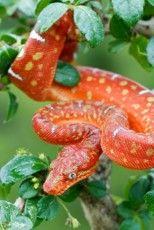 Levande ormar