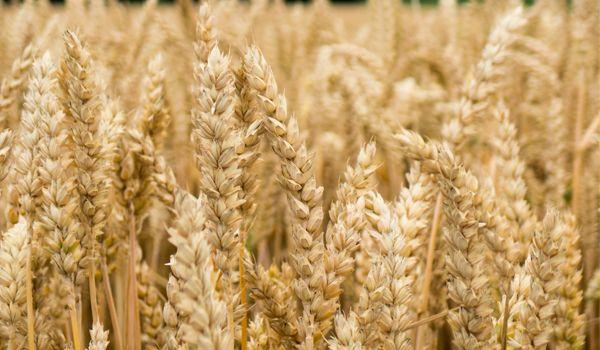 Bild för fråga En gröda som används i såväl mat som djurfoder och det finns 35 000 sorter av den.