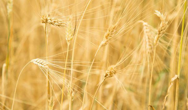 """Bild för fråga Dess namn betyder """"det vanliga sädeskornet"""" och kan odlas i både kalla områden och tropiska zoner."""
