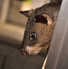 Det är råttor där.