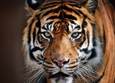 En ilsken tiger på rymmen.
