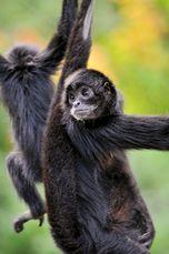 Black Spider Monkeys