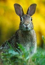 En hare