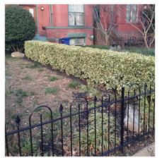 Option 1: Evergreen Hedge
