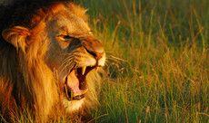Fico mais valente que um leão e parto para o ataque!