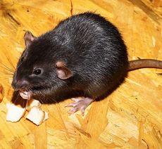 Råttgift