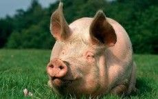"""Picture for choice """"Pigs"""""""