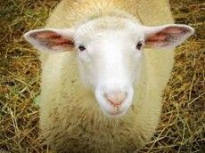 """Picture for choice """"Sheep"""""""