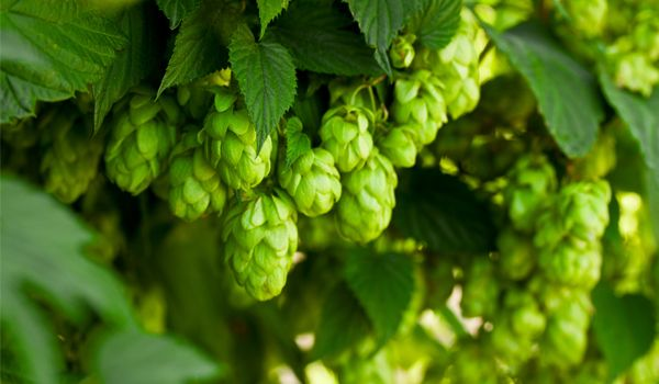 Bild för fråga Känd som en viktig ingrediens i öl och ska ha använts till det redan under 800-talet.